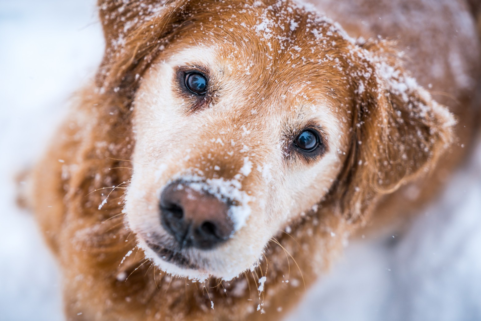 Golden Retriever Snow