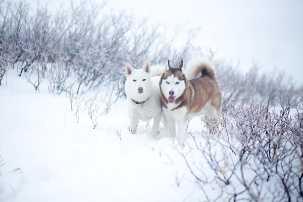 Huskies Snow Bend Oregon By Skyler Hughes