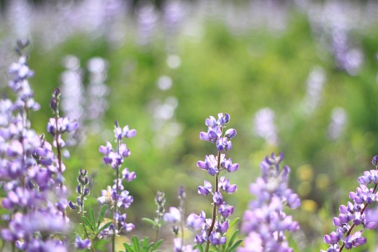 Lupine Wildflowers