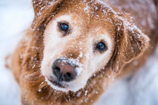 Golden Retriever Snow